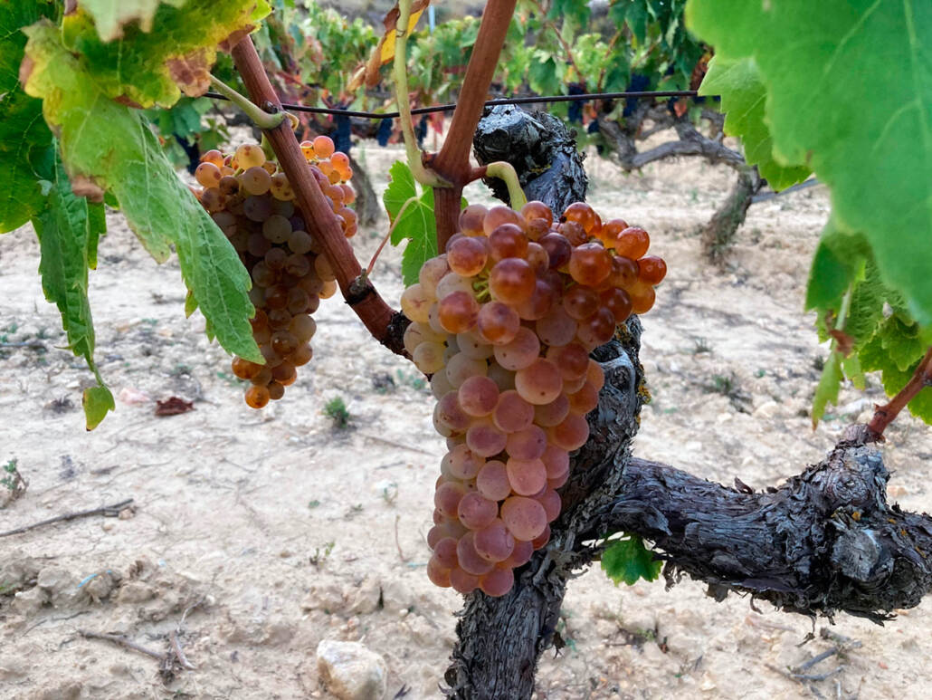 Beautiful Viura grapes about to get hasversted, ripe and healthy still in October